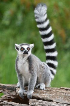 Ringtailed Lemur Stock Photo (Edit Now) 690214438 Zoo Animals, Animals And Pets, Cute Animals, Strange Animals, Wild Animals Pictures, Animal Pictures, Animal Sketches, Animal Drawings, Wildlife Photography
