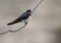 Ethiopian swallow (Hirundo aethiopica) | Ho (Ghana)