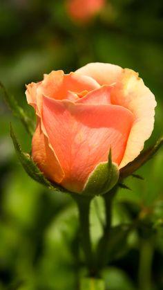 Peach Rose | by Don Bradbury on 500px