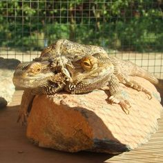 Bearded Dragon UV Lighting Being desert animals, Bearded dragonsbask almost all day in the hot sun. Now this is not only for their temperature requirements, but also to absorb the sun's UV rays. SeeWhy Bearded Dragons Need UV Lighting for more information. Because pet Bearded dragons are generally not kept outside ... http://www.beardeddragons.co.za/bearded-dragon-uv-lighting/