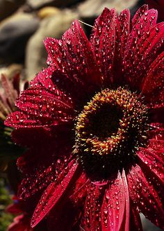 Gerbera in deep burgundy