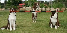 "The Wonderdogs - A team of Chocolate Border Collies owned by Kelly Gill of Kerodan Kennels. They star in many TV commercials and work with Dr Katrina Warren as 'The Wonderdogs' on stage all over Australia. Author of ""Wonderdogs - Tricks & Training"" book."