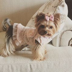 The Yorkshire Terrier is a lovely and cute breed!💕You can see many of them in fascinating costumes and here you can see some amazing outfits for your Yorkshire Terrier! Teacup Yorkie, Yorkie Puppy, Teacup Puppies, Cute Puppies, Cute Dogs, Yorkies, Chihuahuas, Chien Yorkshire Terrier, Yorkshire Terrier Haircut