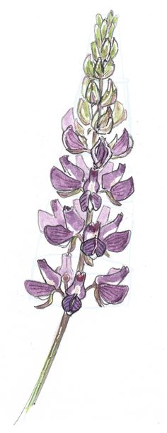 Learn how to draw lupine in this step-by-step watercolor tutorial.