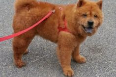 lizardmarsh mart: Brewerton NY: Participate in Chow Chow Rescue of CNY's GoFundMe for new kennel building