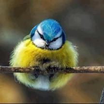Little fuzz Ball, Blue Tit. #birds