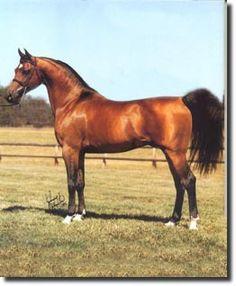 NEGATRAZ (*Bask++ x *Negotka, by Negatiw) 1971-1995 bay stallion bred by Patterson Arabians; sired 570 registered purebreds