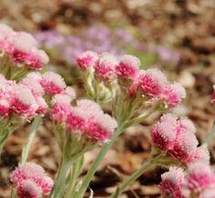 Named for its fuzzy blossoms, the groundcover Pussy-toes (Antennaria) forms a short mat of green leaves topped by white flowers from April through June. Grows up to 16 inches tall and 18 inches wide. A. dioica 'Rotes Wunder' (shown) is a red-blooming variety that prefers dry to medium-damp soil, full sun to partial shade. Zones 5–9.