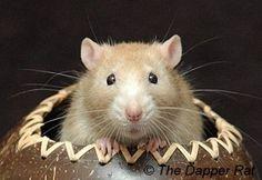 Waffle the rat