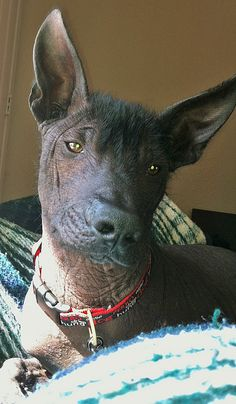 mexican-hairless-dog-breed info and best picture gallery