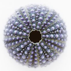 Shells | Conchas - #Shells This #urchin appears to be covered in rows of delicate, violet-colored pearls.