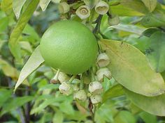Citrus maxima0 - Citrus maxima - Wikipedia