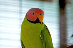 The Blossom Headed Parakeet has many adorable quirks and interesting traits that make them great pets. Bird Breeds, Parakeet, Exotic Pets, Parrot, Animals, Parrots, Birds, Parrot Bird, Animales