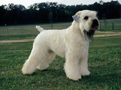 Soft Coated Wheaten Terrier - nice cut for our Wheatie Donovan