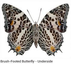 Brush - footed Butterfly