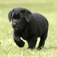 C'est un labrador qui est chiot et noir trop trop craquant!