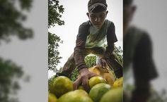 Honduras lidera protección de cítricos en CA y el Caribe El país contará con un segundo vivero para apoyar a productores extranjeros. En Honduras, el proyecto HLB ha funcionado teniendo cítricos libres de la enfermedad HLB.