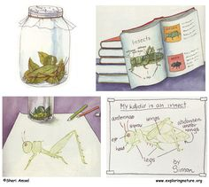 Learn to draw and identify a katydid from Exploringnature.org
