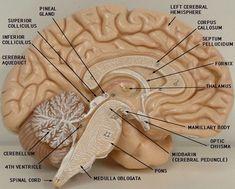 3d brain model labeled brain brain models, neuron model, neuronsanatomy lab models brain labeled gallery model of the brain labeled human anatomy diagram