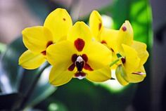 A golden peoker hybrid phal with rich color that never fades (Photo by Laura Kelley).
