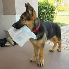 Bring Me Home! | German Shepherds | Legacy PuppySpot | Find the Right Puppy for Your Family