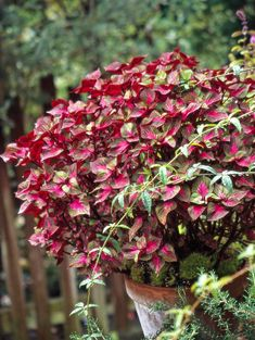 Like coleus, perilla features fabulous foliage, though in a more limited range of colors. Varieties such as 'Magilla' offer variegated leaves. Shade Flowers, Yellow Flowers, Beautiful Flowers, Beautiful Gardens, Double Impatiens, Plants For Shady Areas, Shade Annuals, Shade Garden Plants, Flowers Garden
