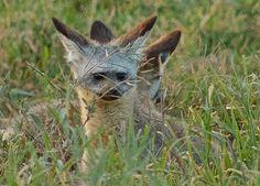 fun cute Bat-eared Foxes