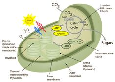 Photosynthesis in Biology Biology Lessons, Ap Biology, Science Biology, Science Education, Teaching Biology, Plant Cell Structure, Cannabis, Plant Lessons, Plant Science