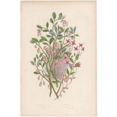 Anne Pratt antique 1860 botanical print, Pl 132 Cranberry, Flowering Plants