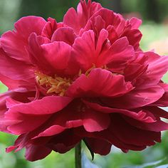 President Roosevelt Herbaceous Peony Red