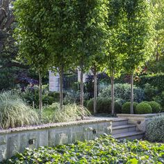 Drifts of plants under ornamental pears.Shade in a garden in the summer heat is vital in a warm climate . It also provides another layer of greenery to the garden. #peterfudge #peterfudgegardens #garden #gardendesign #landscape #landscapedesign #ornamentalpear