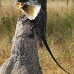 Clamidosauro Australia