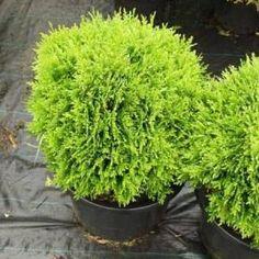 Havupuut - Ahosen Taimisto Olympus Digital Camera, Bonsai, Herbs, Plants, Herb, Plant, Planets, String Garden, Medicinal Plants