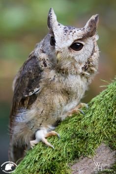 Indian Scops Owl by Wolfgang Holtmeier W0LLE.deviantart.com on @DeviantArt