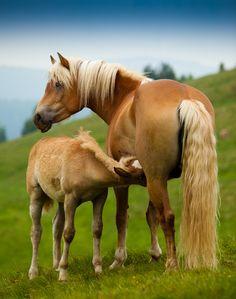 """haflinger horses"" by Thomas Kaercher, via 500px."