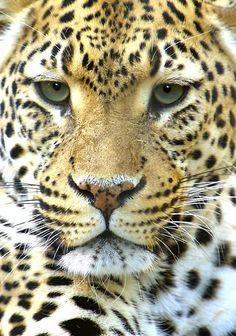 leopard *----*