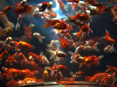 Goldfish Bowl - Taro 51