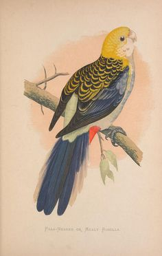 Pale-Headed or Mealy Rosella. Parrots in captivity v.2  London :George Bell and Sons,1884-1887 [i.e. 1883-1888]  Biodiversitylibrary. Biodivlibrary. BHL. Biodiversity Heritage Library