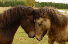 So sweet... Icelandic horses.