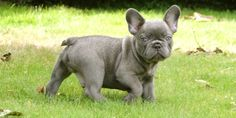 blue frenchie. i'm in love!