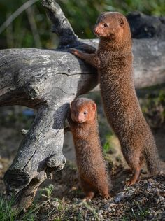 """ Dwarf mongooses are small. Dwarf mongoose pups… tiny! """