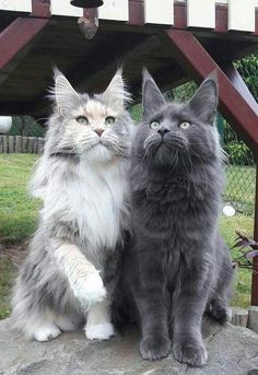 Two Beautiful Maine Coon Cats Are you looking to get a new cat soon? You may want to consider a purebred cat like the Maine Coon cat breed. Animals And Pets, Funny Animals, Cute Animals, Baby Animals, Animals Images, Animal Memes, Cute Kittens, Cats And Kittens, Pretty Cats