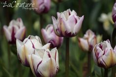 Cary LaCouture Photography: Tulips Tulips Tulips