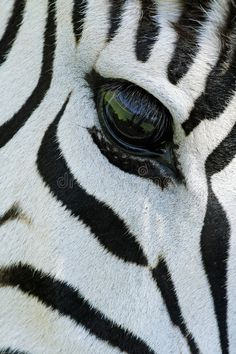 Photo about Close-up of the eye of a Plains (Burchell s) Zebra (Equus quagga), South Africa. Image of plains, equus, portrait - 6996435 Animal Close Up, Close Up Art, Eye Close Up, African Art Paintings, Animal Paintings, Large Animals, Animals Images, Zebra Drawing, Zebra Pictures