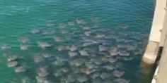 #Why zillions of stingrays are gathering off this Fla. beach - Naples Daily News: Naples Daily News Why zillions of stingrays are gathering…
