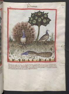Cod. Ser. n. 2644, fol. 70r: Tacuinum sanitatis: Pavones