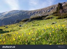 mountain meadow  in spring; bunch of yellow flowers in the foreground against blurred background
