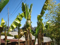 One of the very common problems people face with growing banana trees is the plant fails to bear any flower or fruit. There can be a variety of reasons for this, and in this post, we will discuss are main causes that stop a banana plant from bearing fruits. And... Banana Flower, Banana Fruit, Banana Plants, Grow Banana Tree, Papaya Plant, Soil Ph, Parts Of A Flower, Growing Veggies, Organic Matter