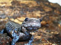 Blue spotted salamander Blue Spotted Salamanders Cute
