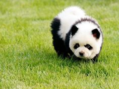 Oh. My Gosh. You guys, this is a puppy. Like, an actual dog. That looks like a panda. My day has just been made. (It's breed is called a Panda Chow)